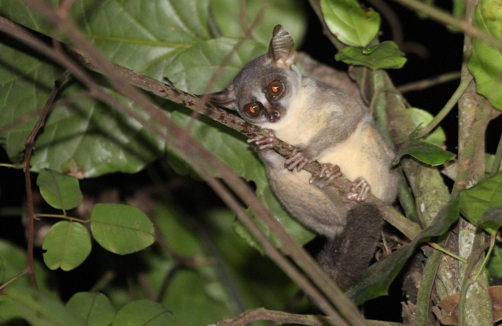 Galago Angola