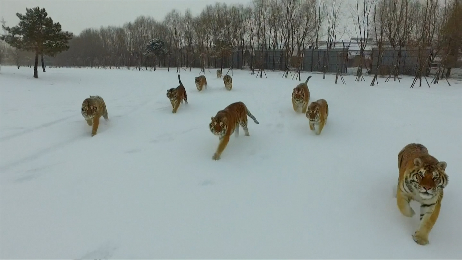 Tubby tigers chase drone for exercise