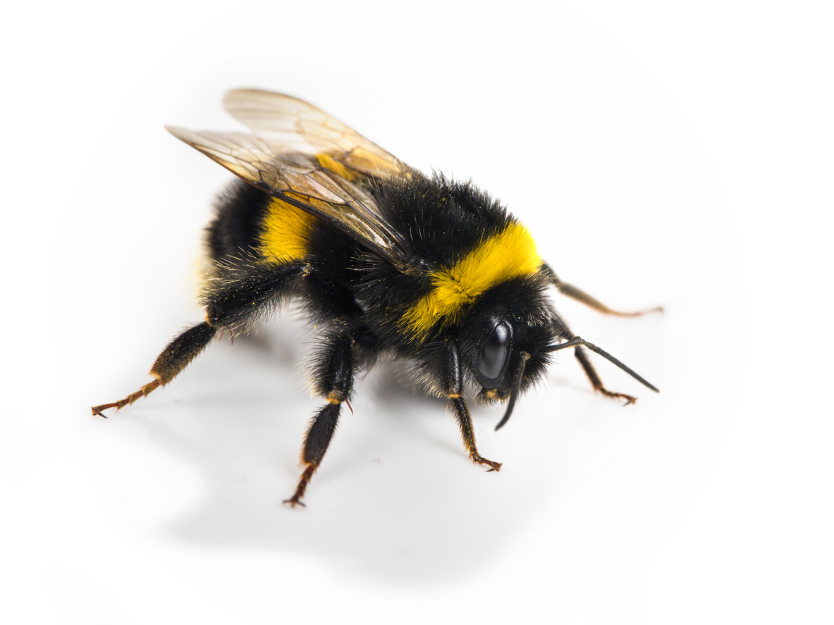 bumble bee Bumble bee, common name for any of a group of large, hairy, usually black-and-yellow, social bees they are found primarily in temperate regions of the northern hemisphere, often ranging farther north and higher in altitude than other bees.