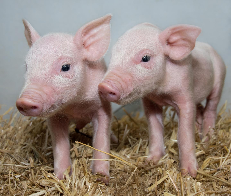 Gene-edited piglets