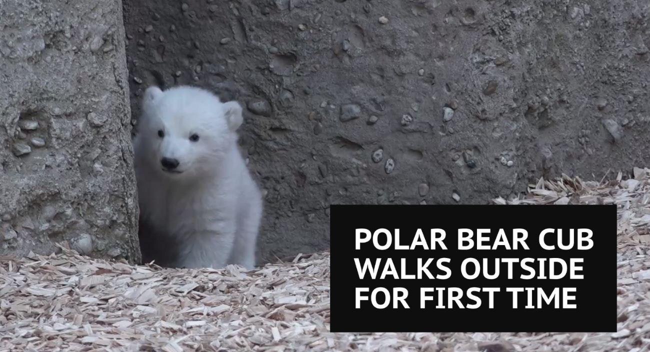 Polar bear cub walks outside in Munich
