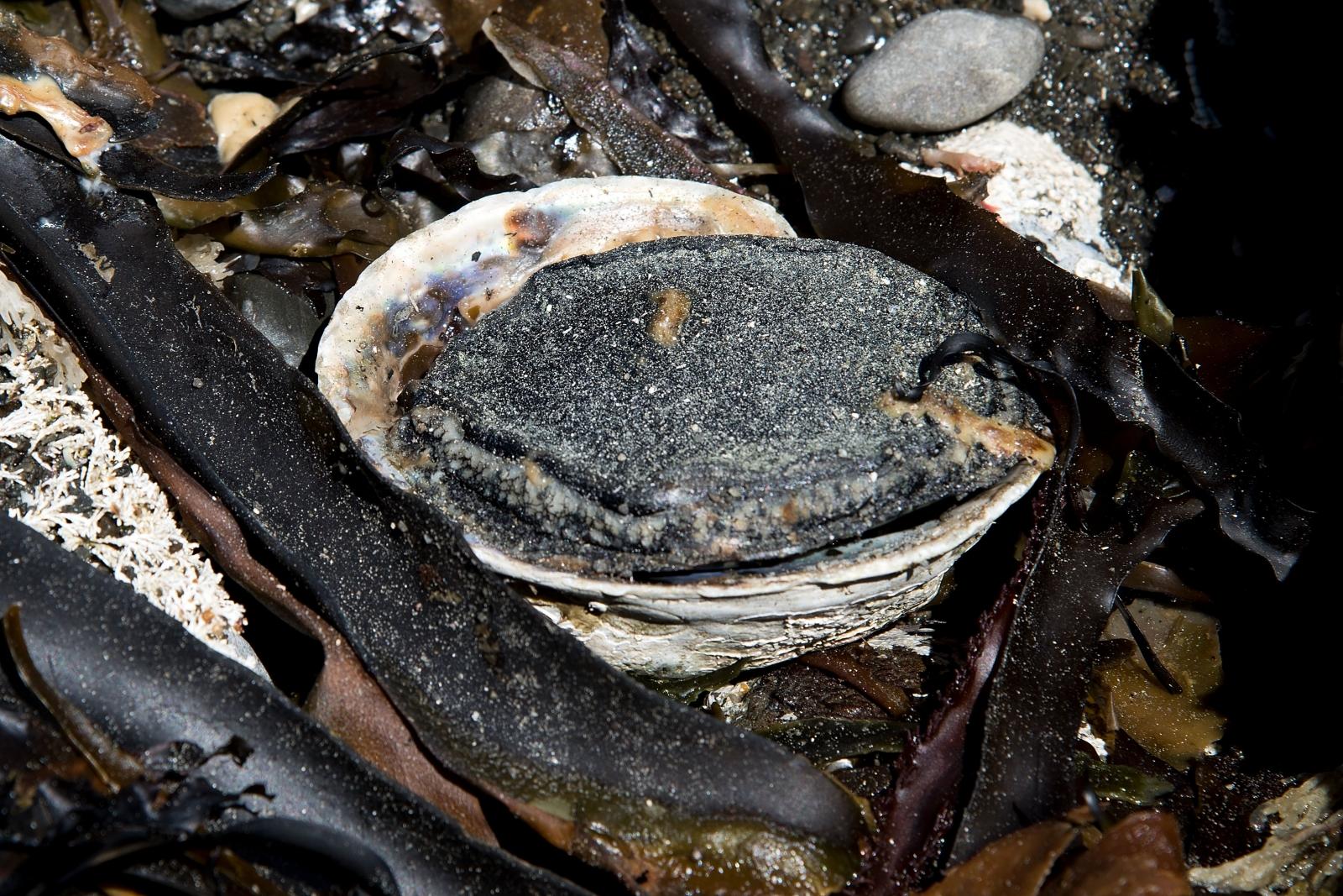 Paua shellfish