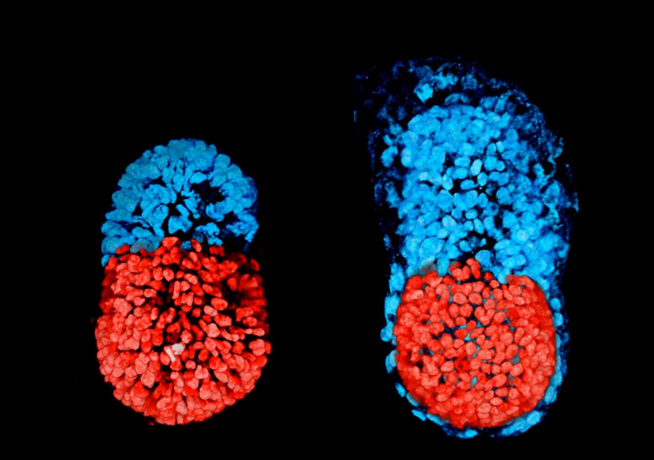 embryo mouse