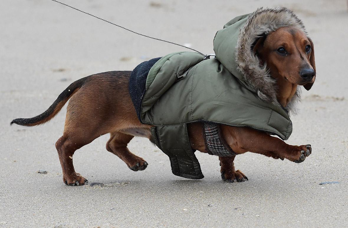 Sausage Dog Walk