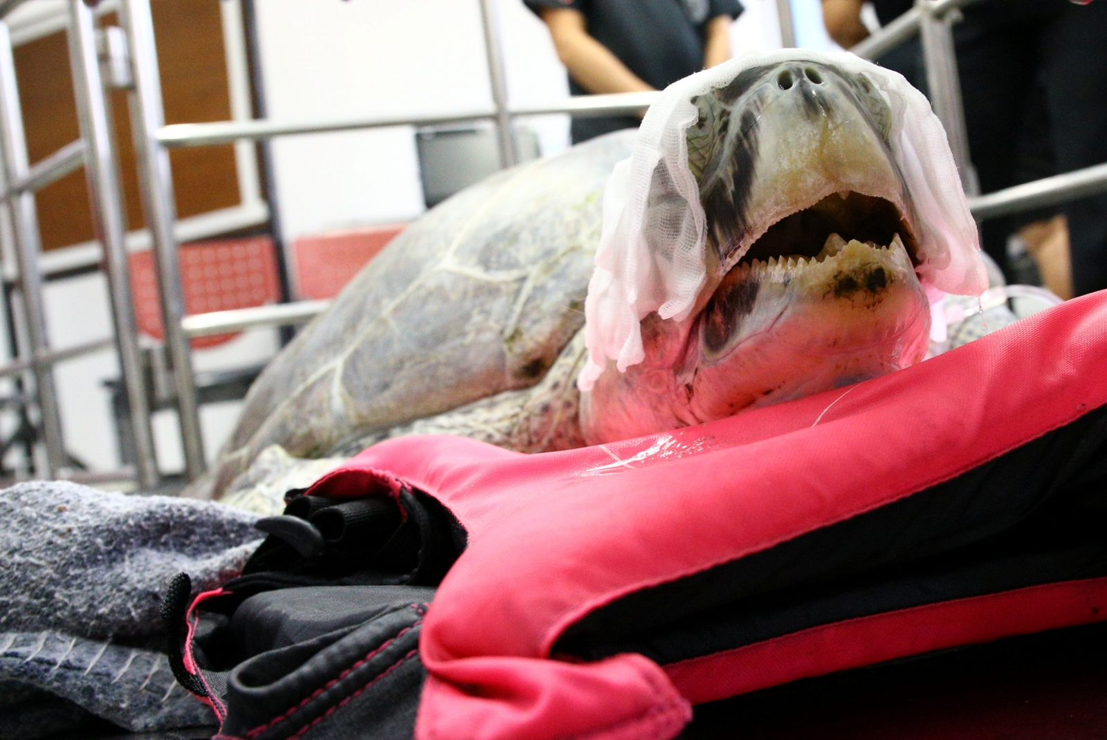 Sea turtle surgery