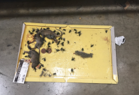 Asda dead mice