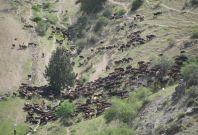 pastoral herd