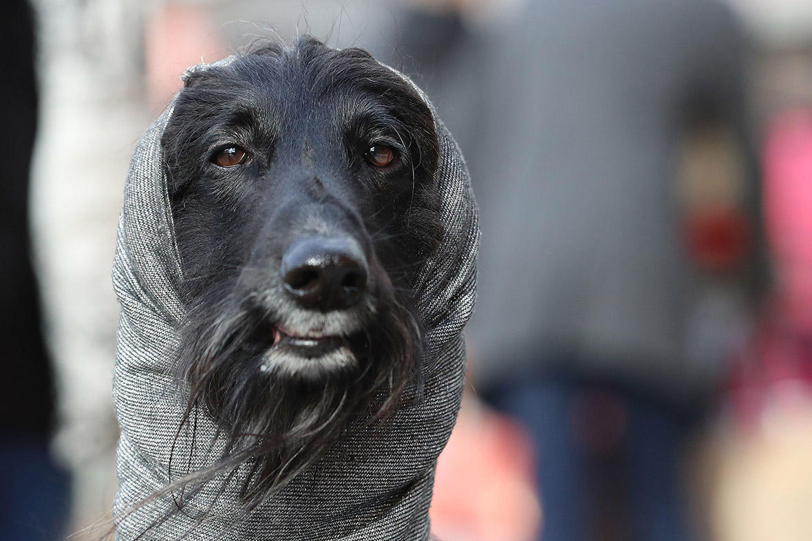 Crufts 2017 Photos Of Pooches And Their Owners Arriving -7649