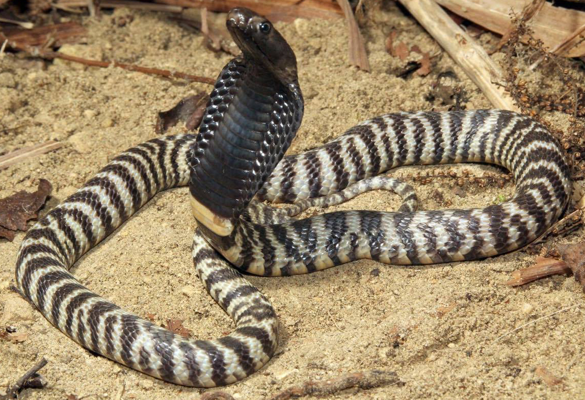 Zebra spitter cobra