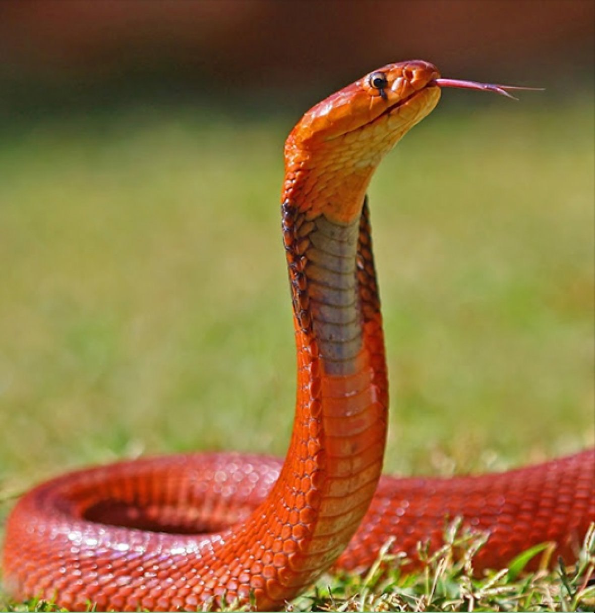 Sudan cobra