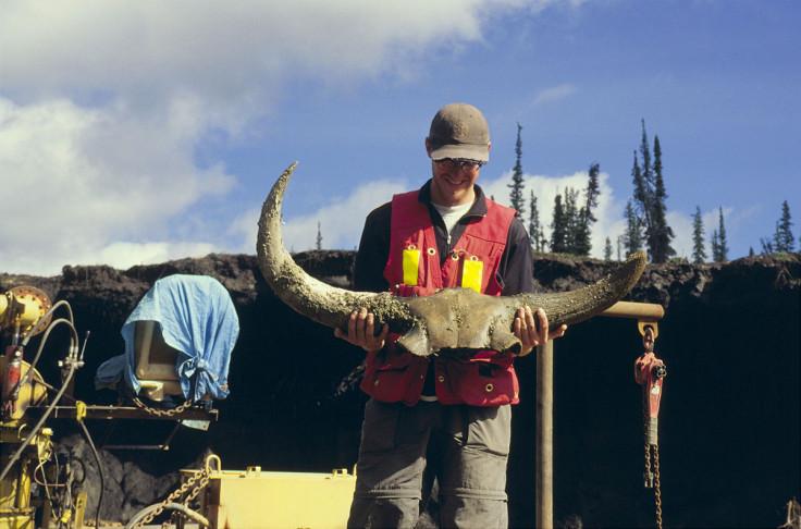 Steppe bison