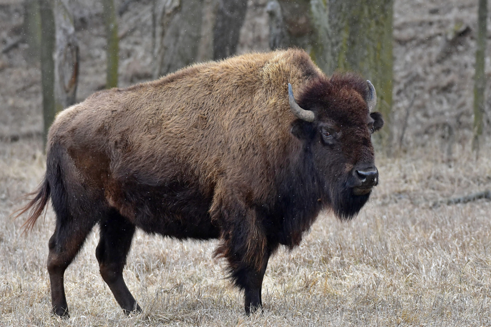 Ancient bison fossil reveals US national mammal 'invaded ...