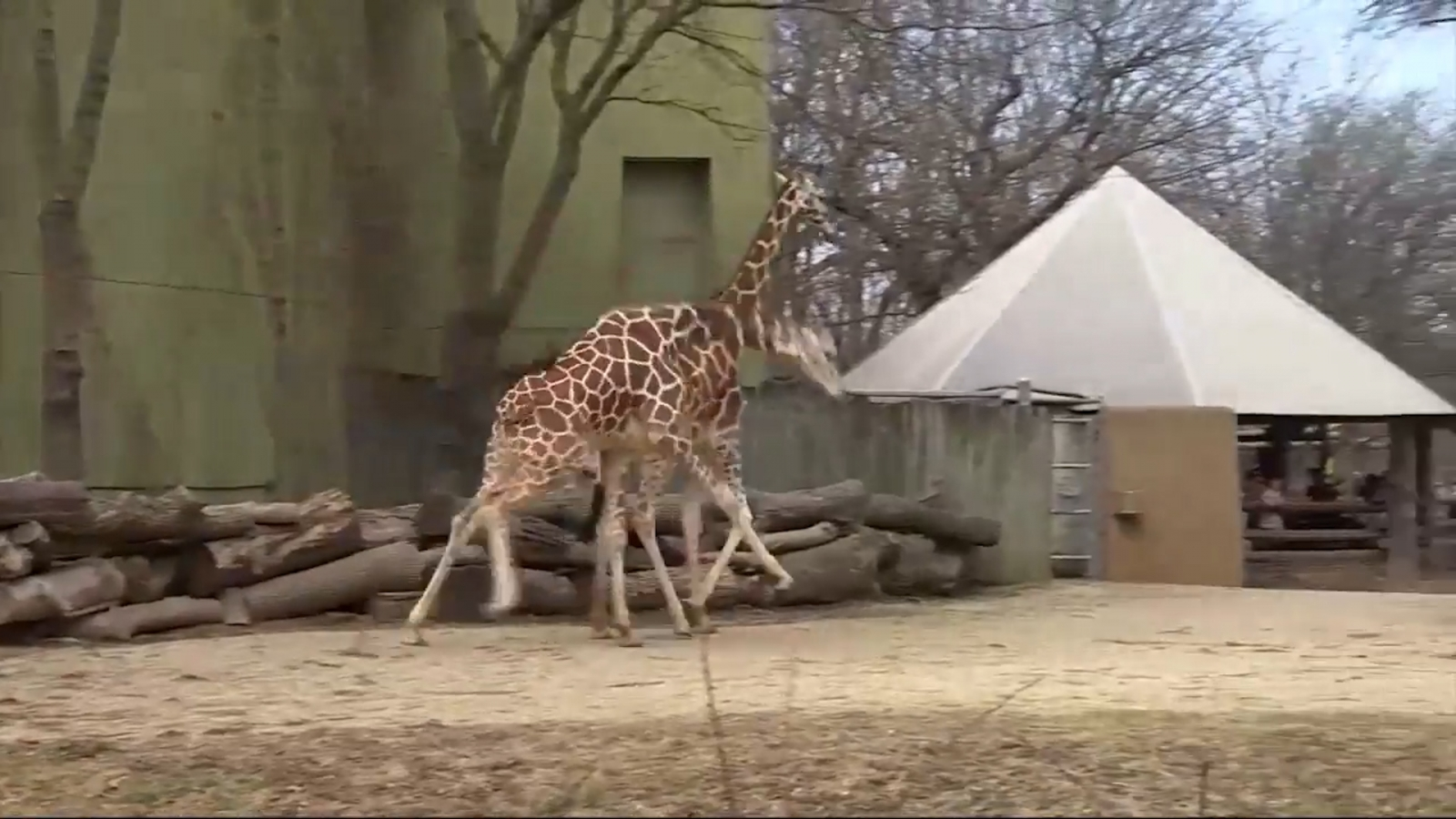 That Giraffe Is Finally Going To Give Birth