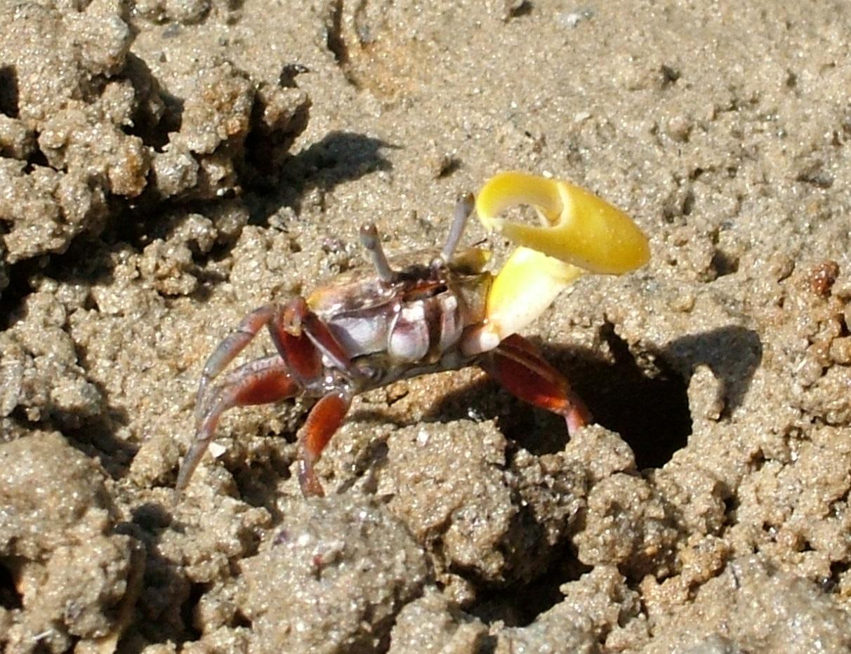 banana fiddler crab