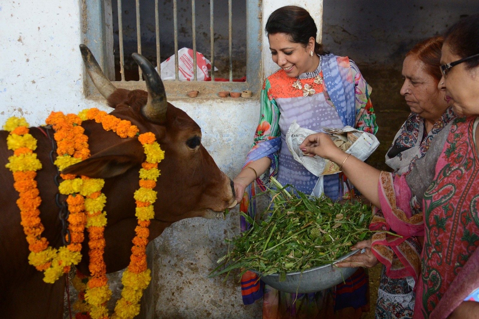 holy cow India
