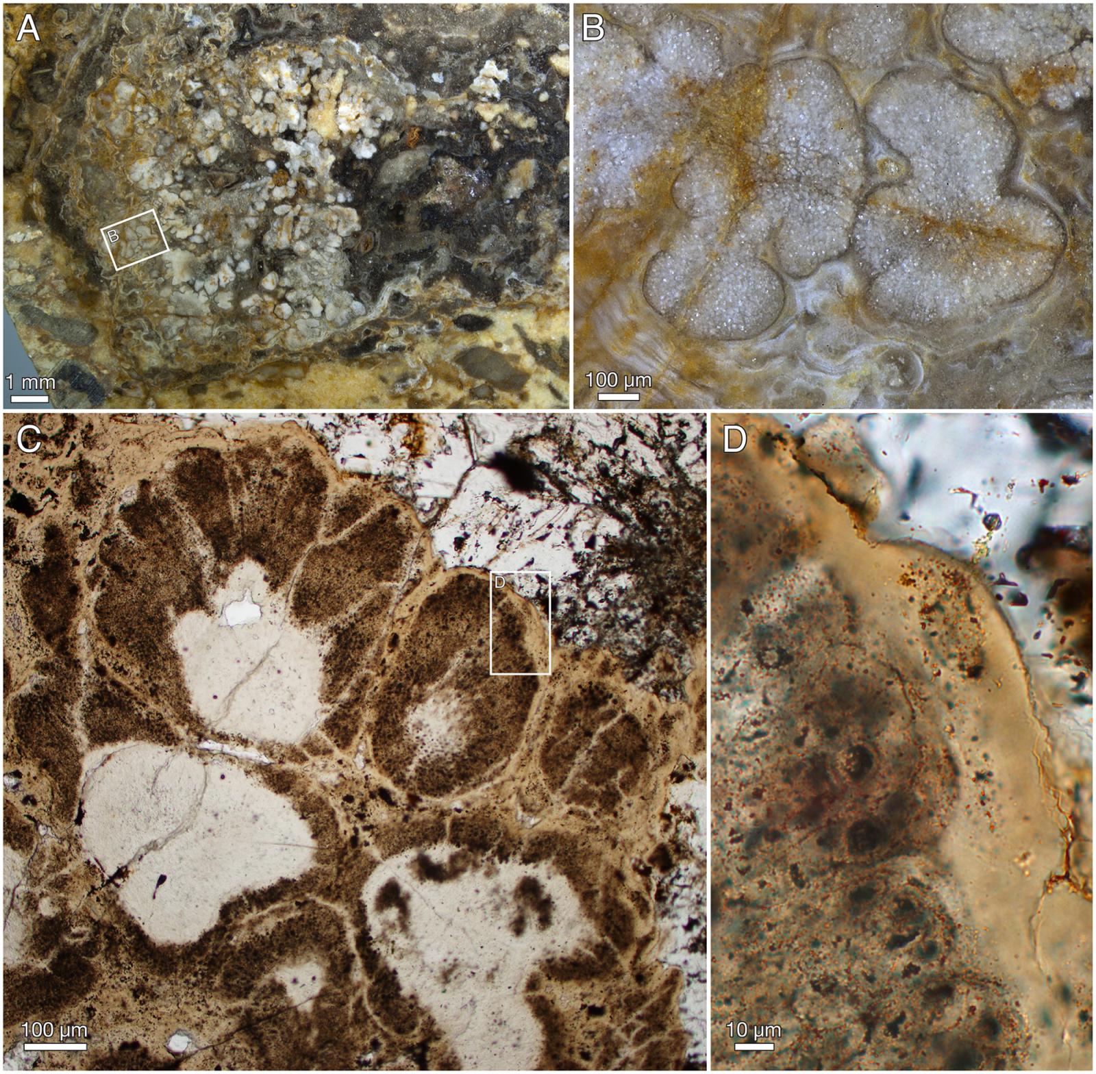 Red algae fossils