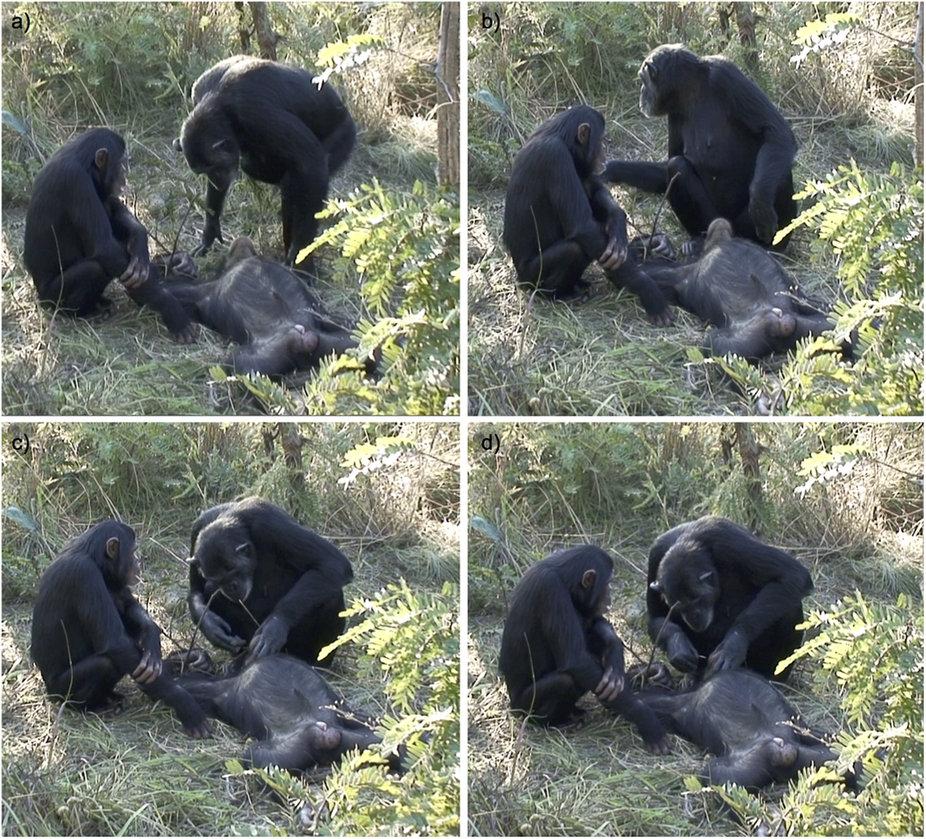 Chimp death ritual