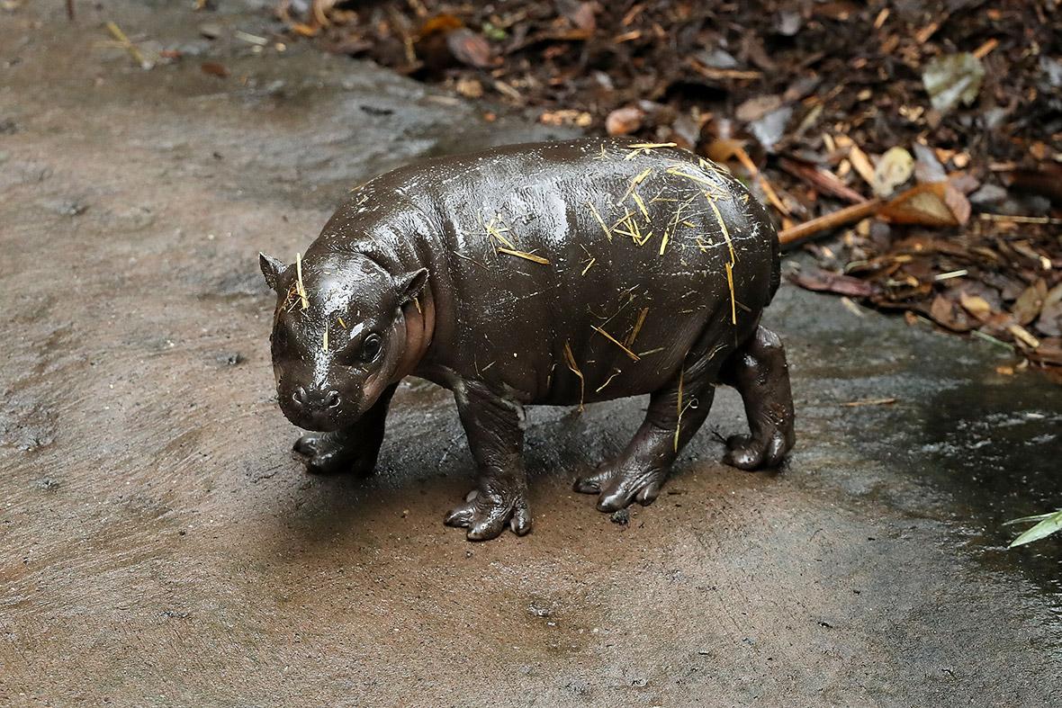Pygmy Hippos