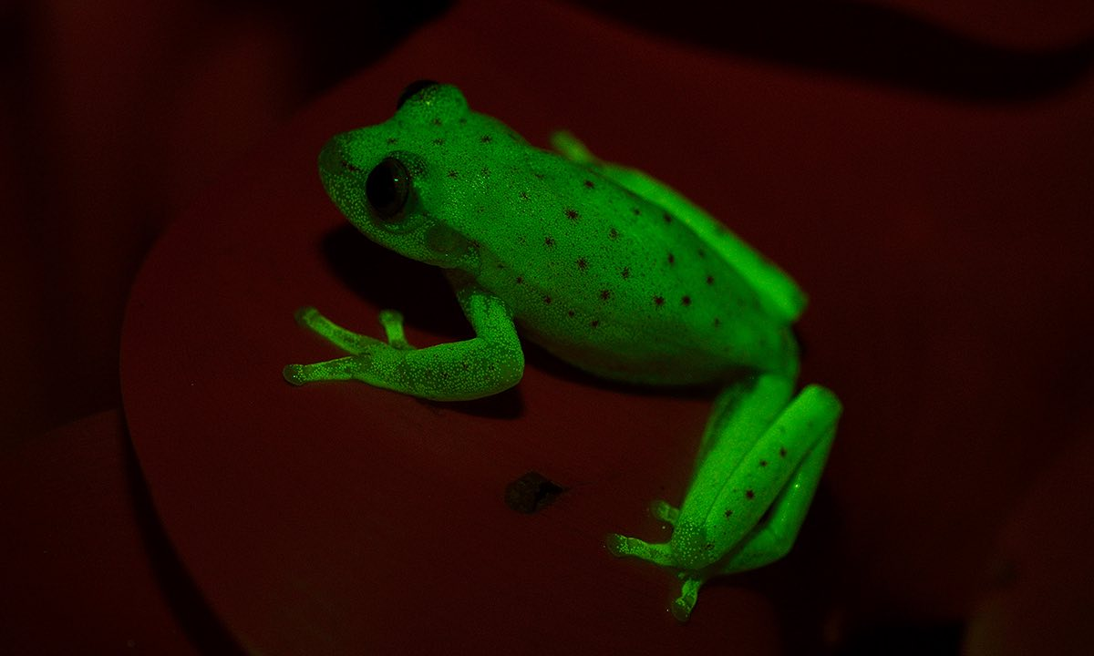 fluo frog