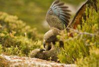 kea parrots