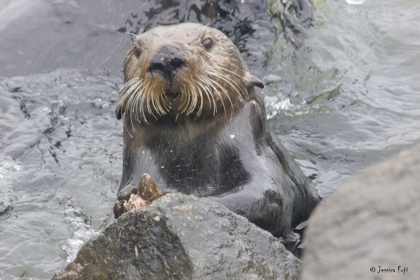 sea otter tool use