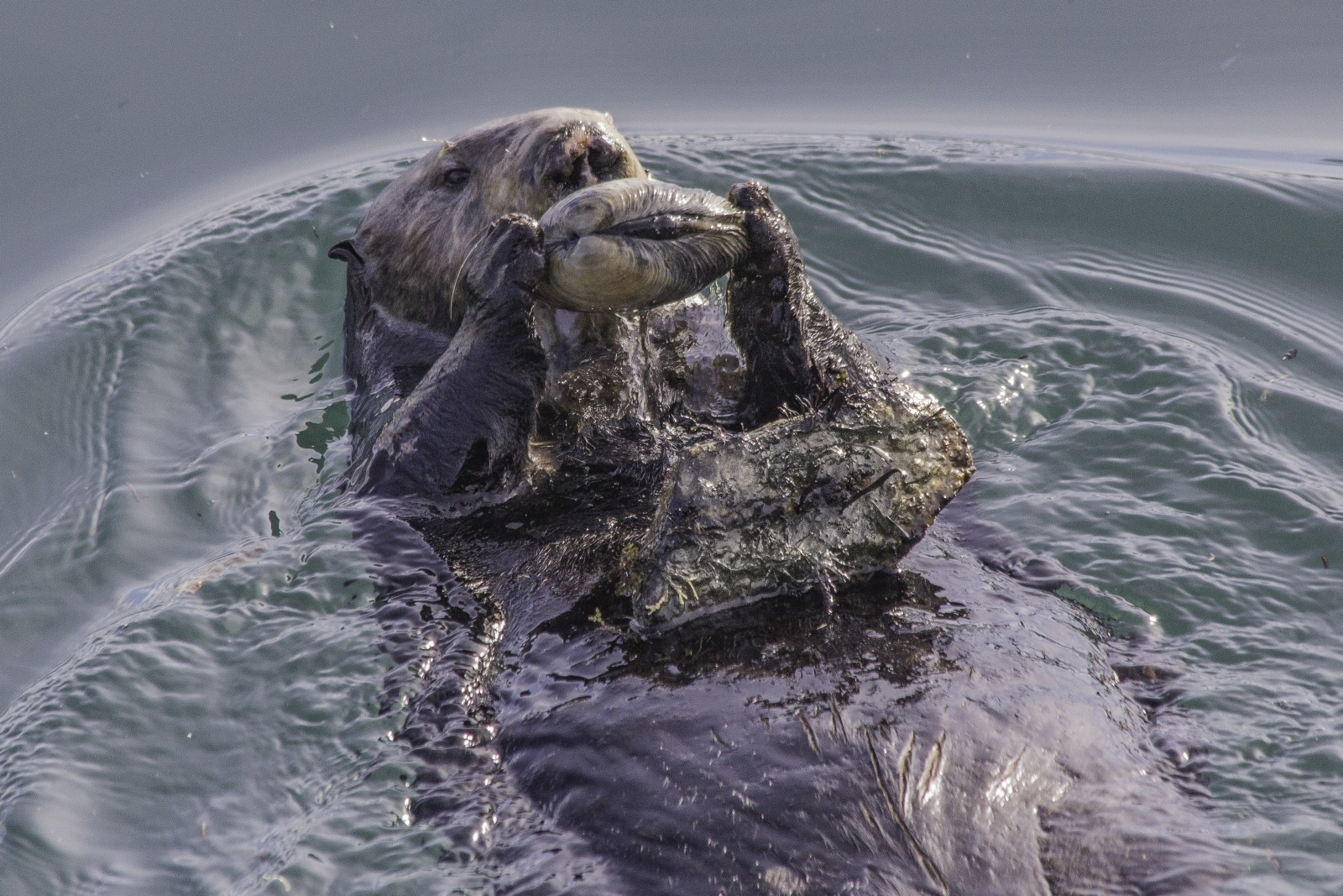 sea otter tool use