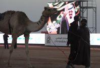 Saudi camel fest