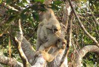 monkey yellow fever