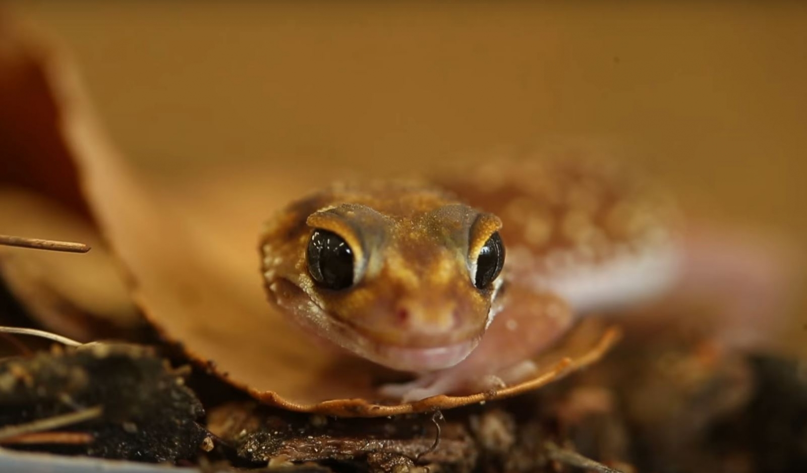 Australia: Climate event 35 million years ago wiped out geckoes