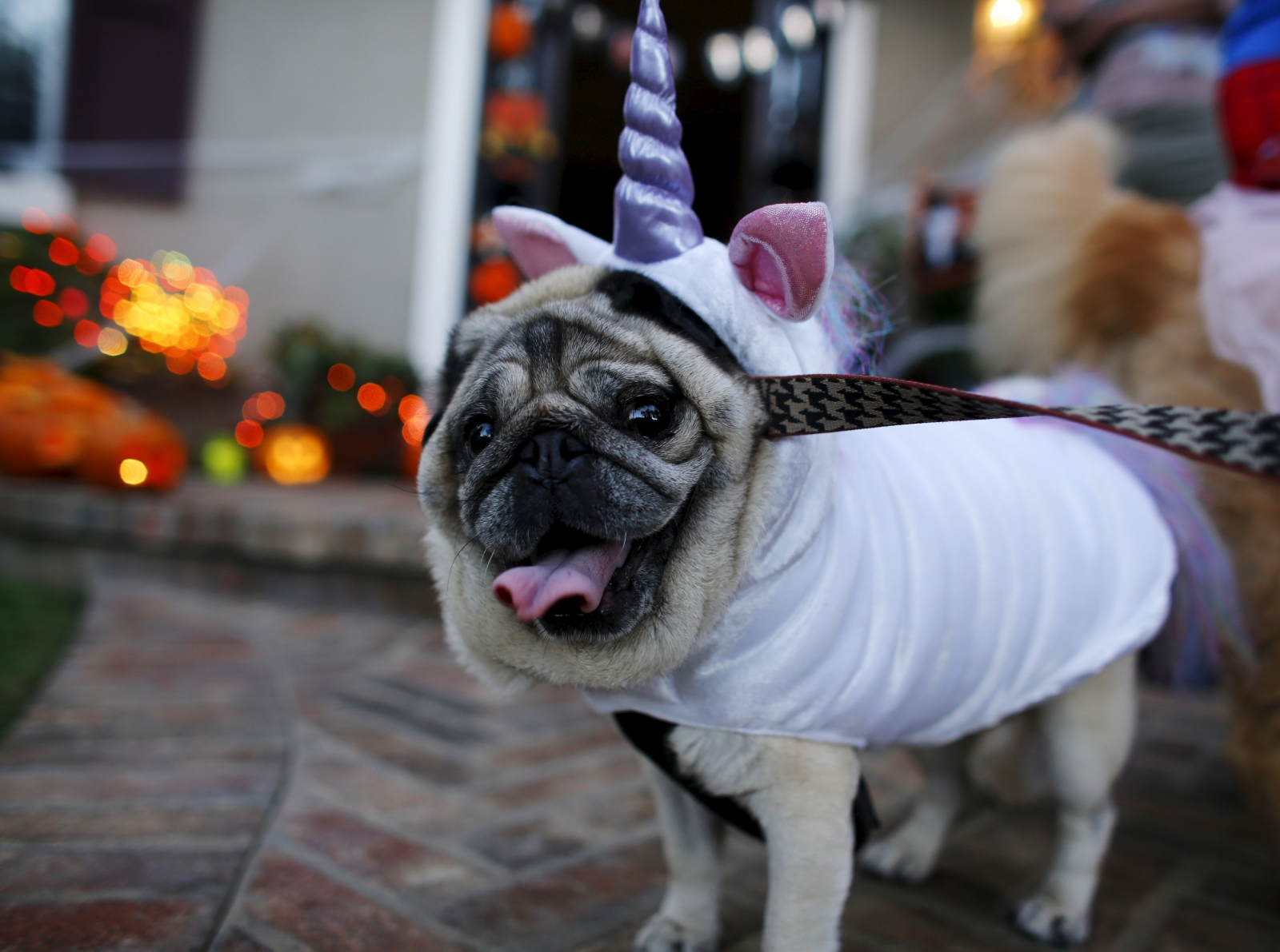 A pug dog is dressed up in costume as she trick or treats with her owners during Halloween in Encinitas, California October 31, 2015