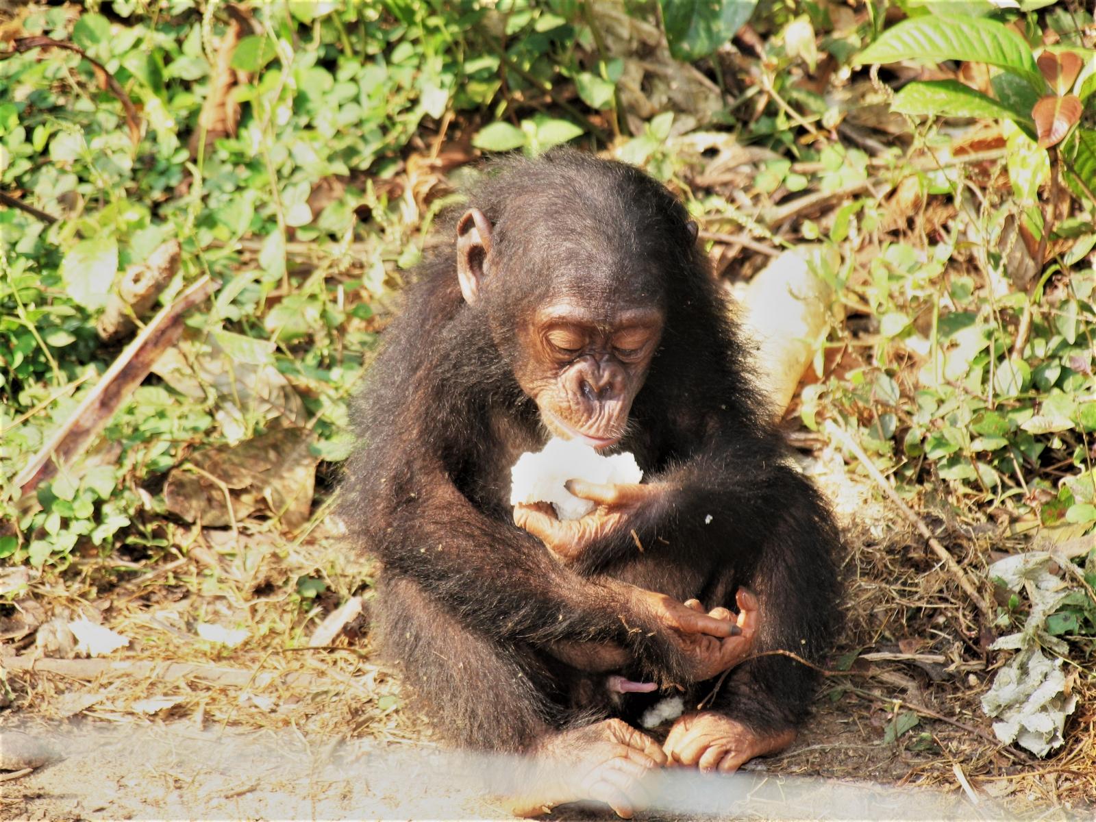 chimp diet