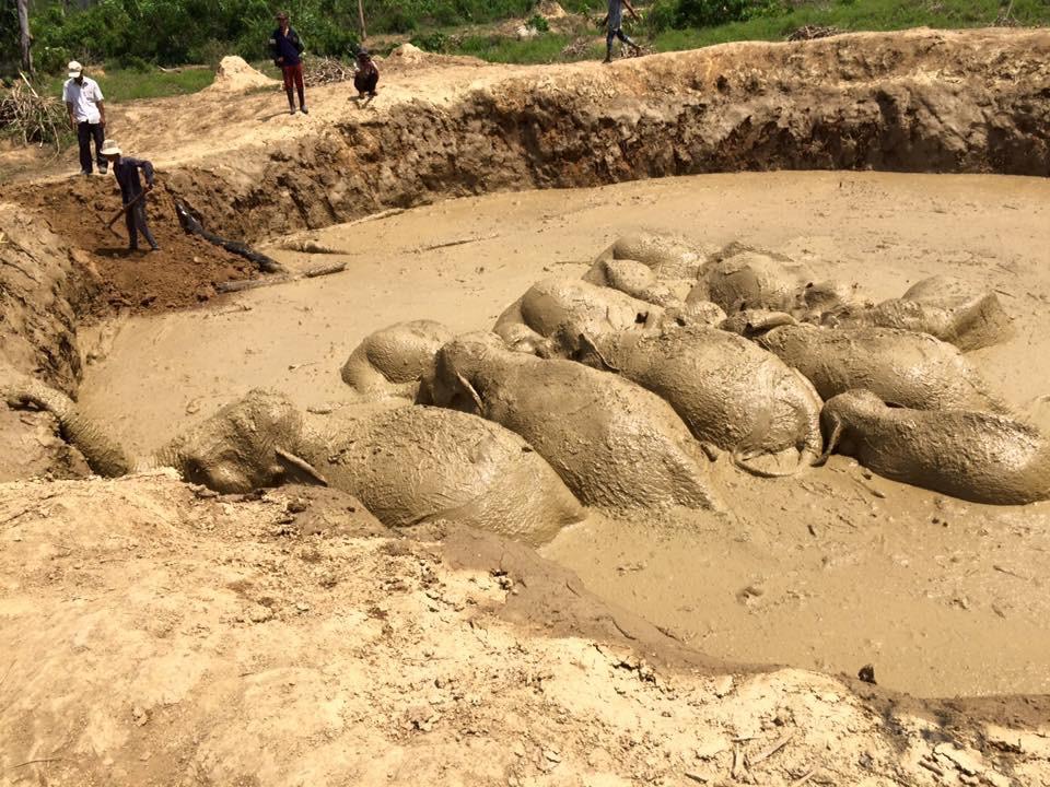 Asian elephant rescue