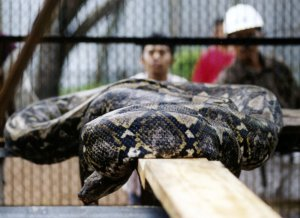 Body of missing Indonesian man found inside giant python