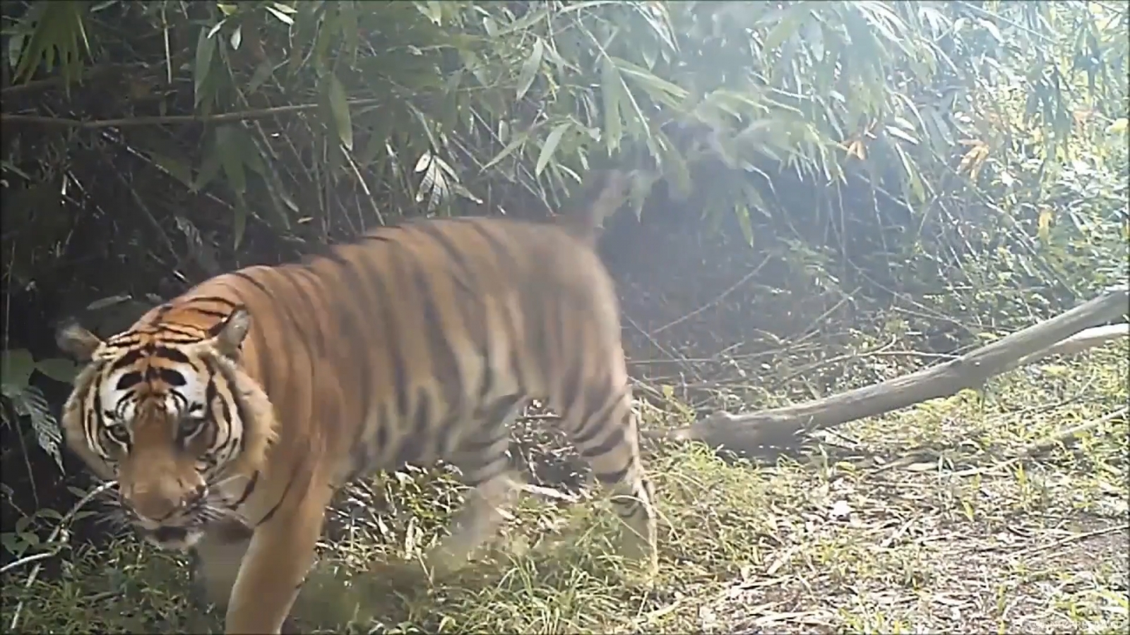 Rare Indochinese tiger population