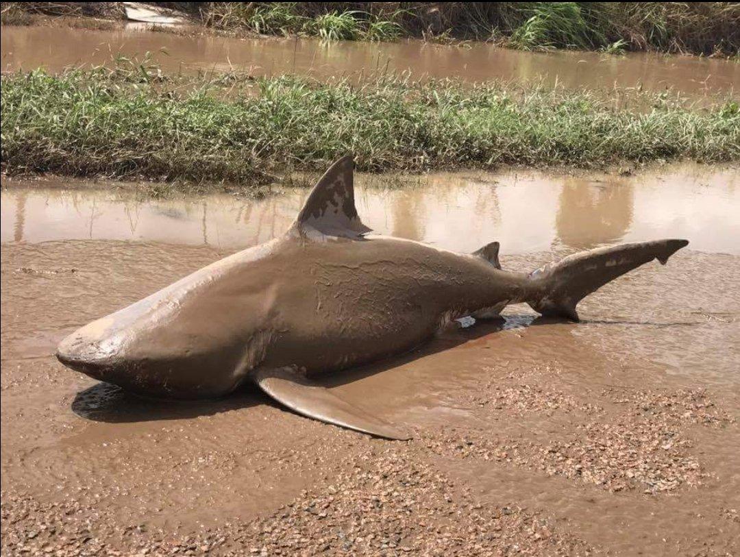 Shark Australia Cyclone Debbie