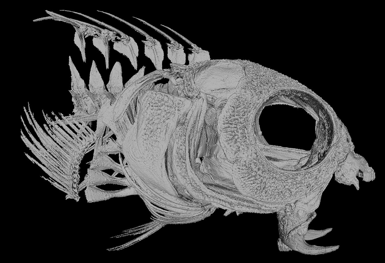 Fang blenny skull