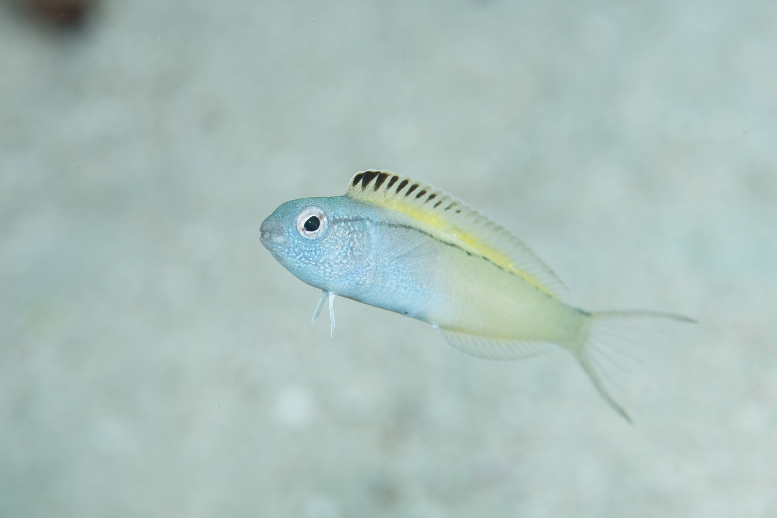 This fish gets predators high so it can escape