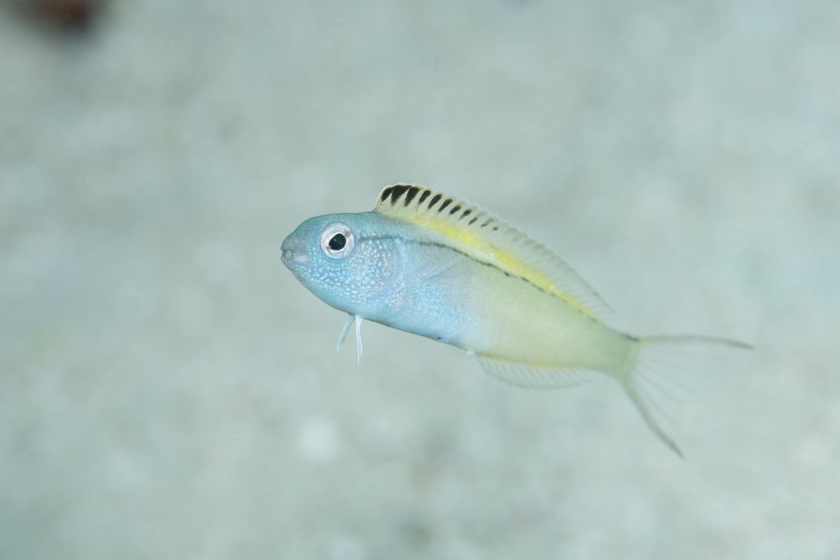 Fang blenny fish