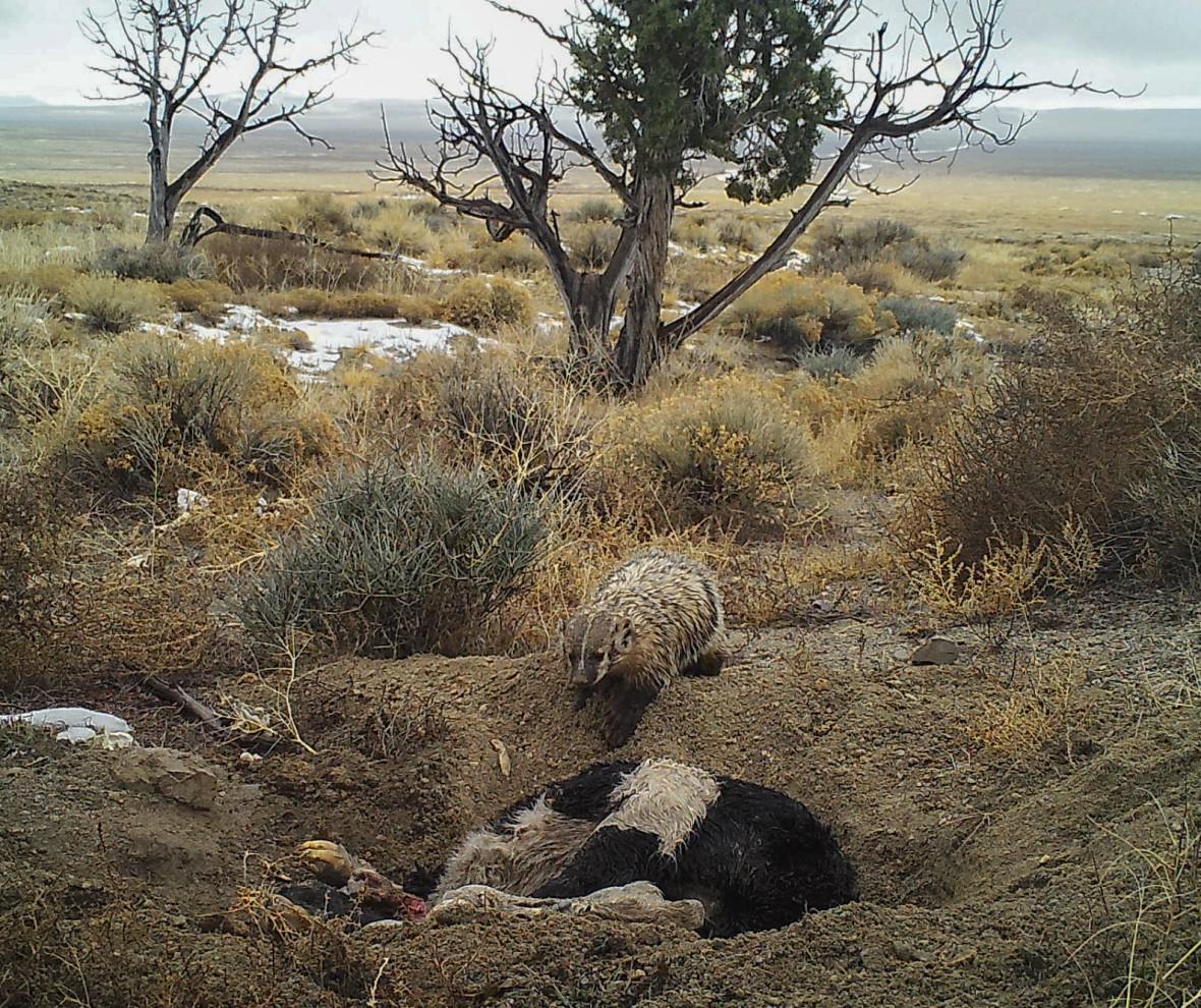 badger burial