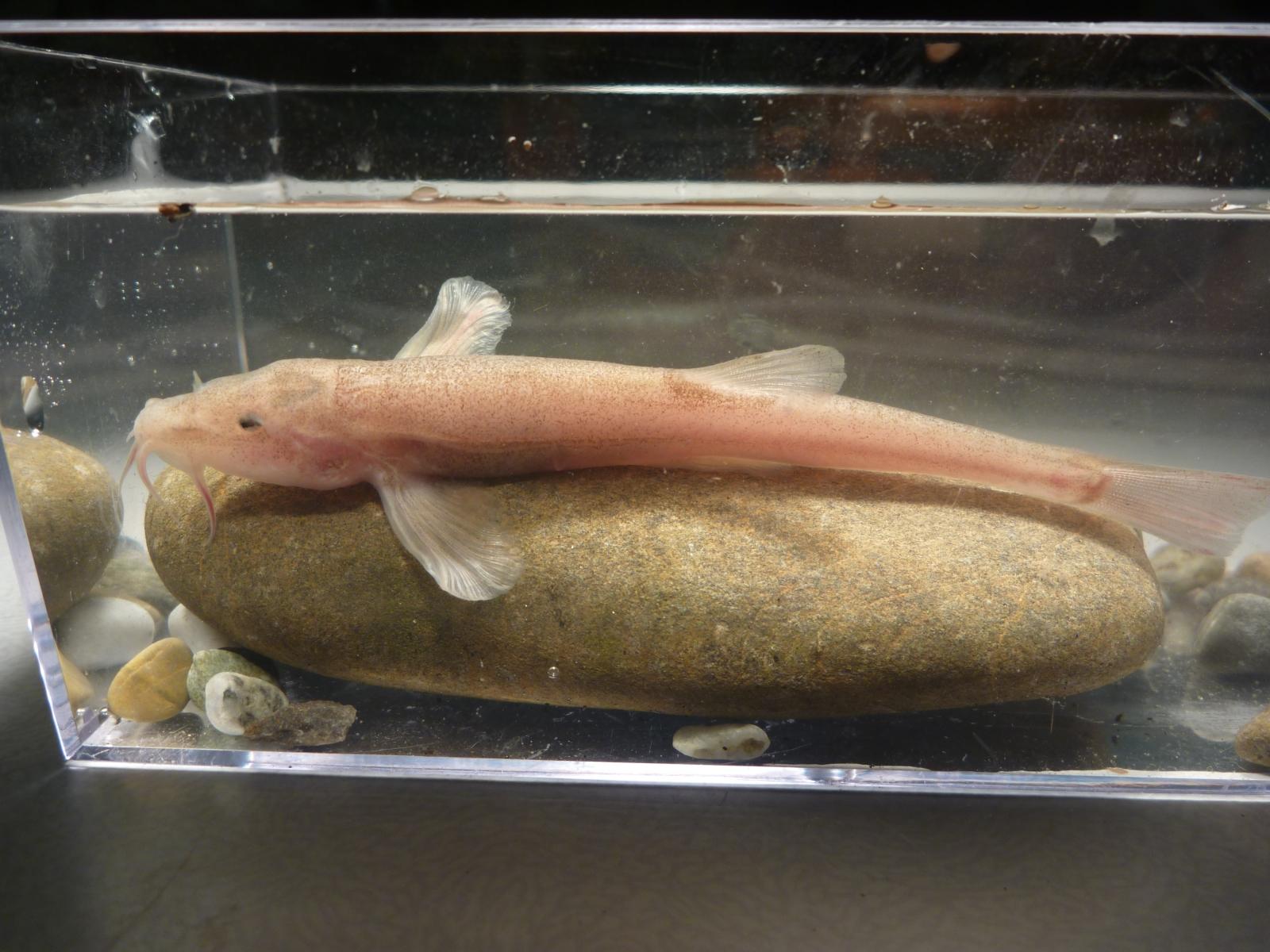 cave fish europe