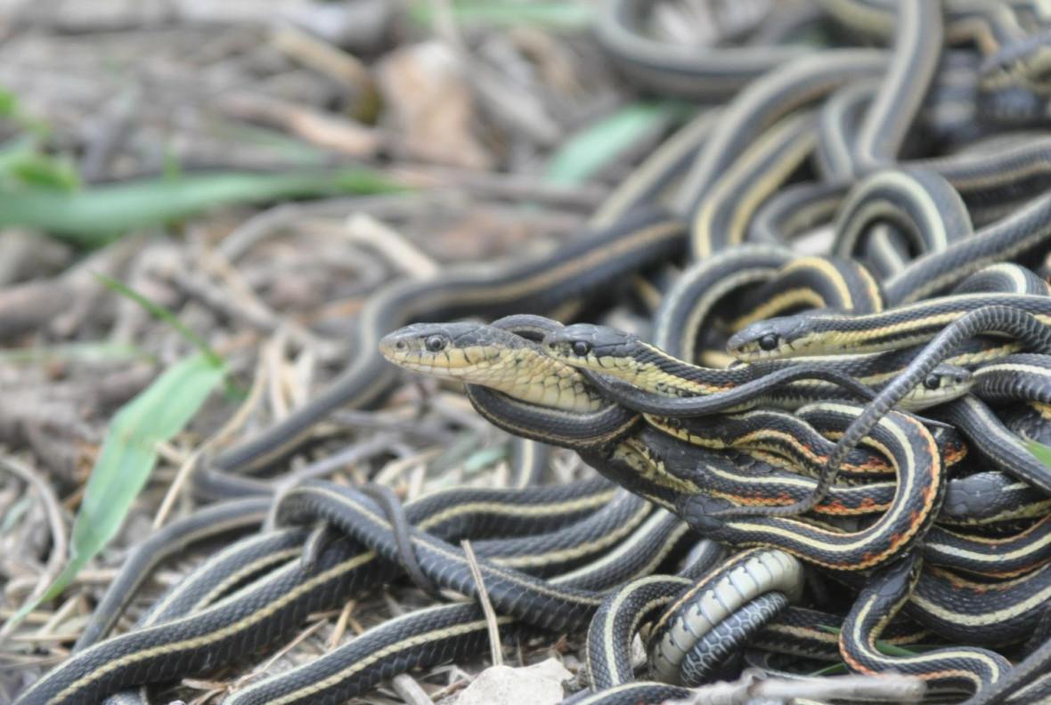 Red-sided garter snakes