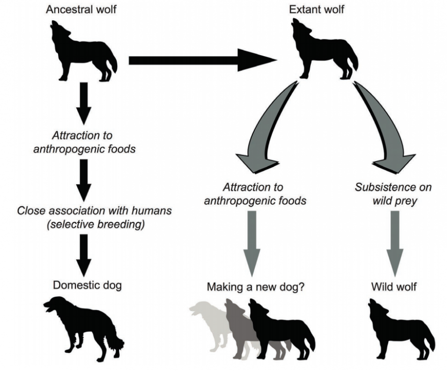 Domestication of wolves