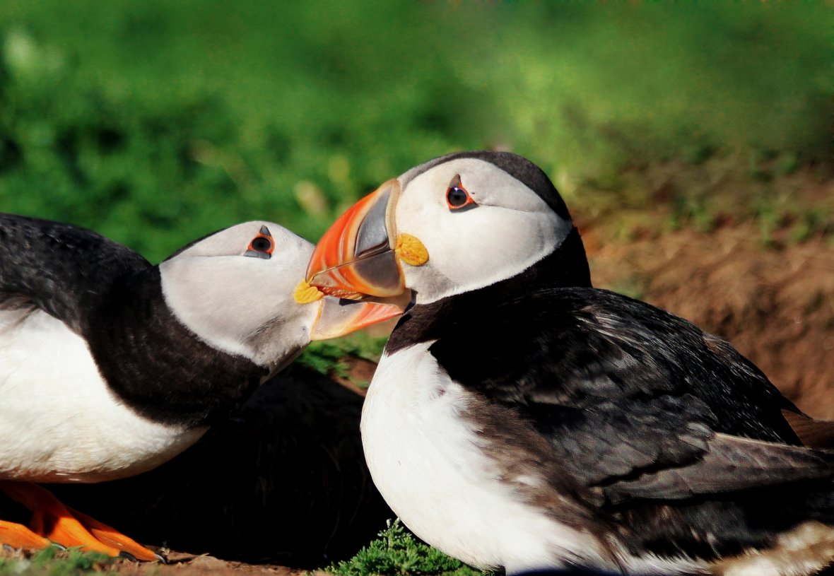 Soulmate puffins