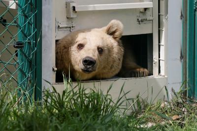 Lola the bear