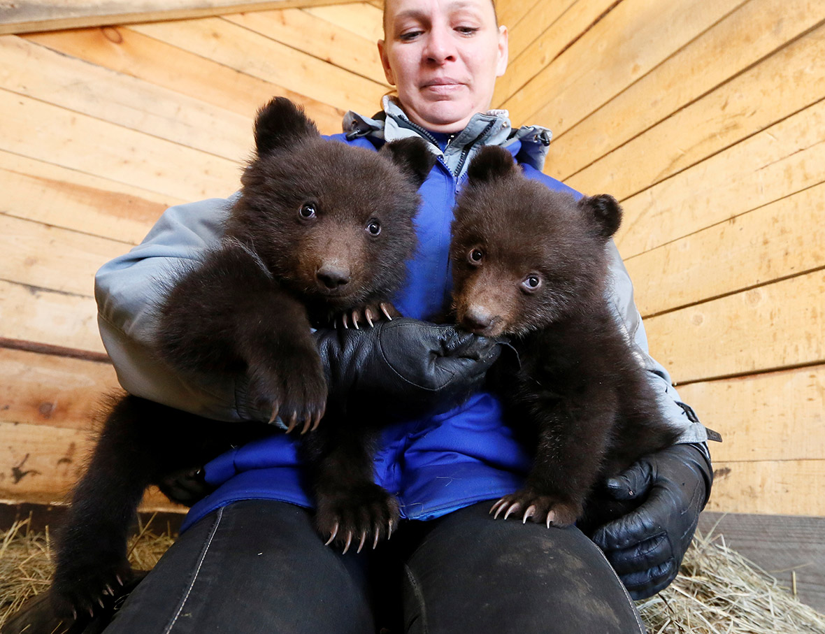 Orphaned brown bear cubs