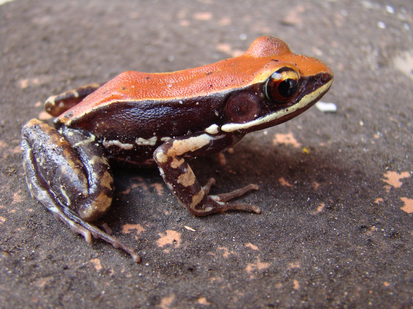 Frog slime contains a secret ingredient that can kill flu viruses