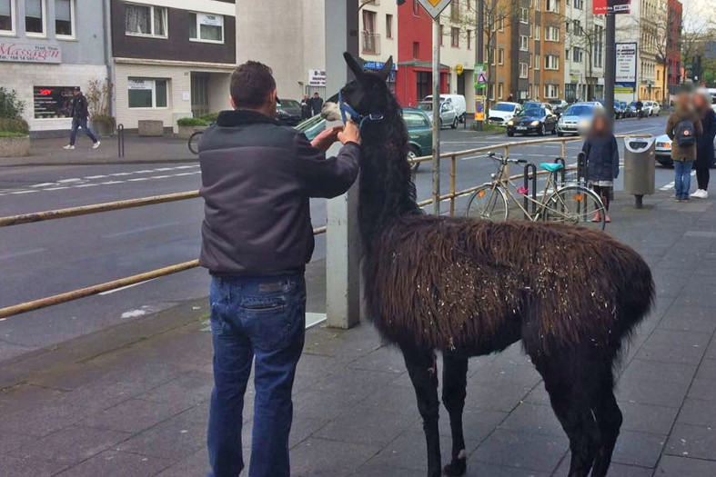 Llama caught by police in Cologne