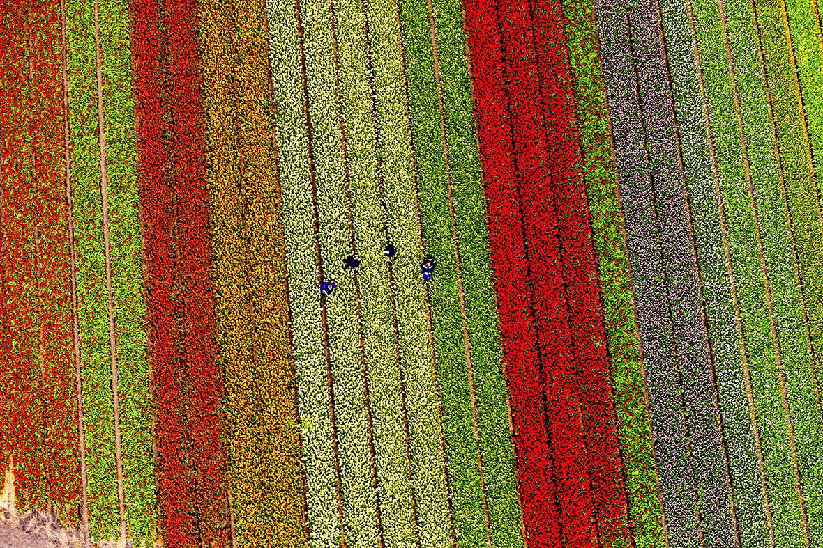 Tulip fields, Lisse