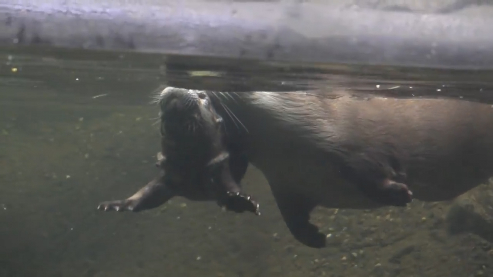 Baby otter learns how to swim