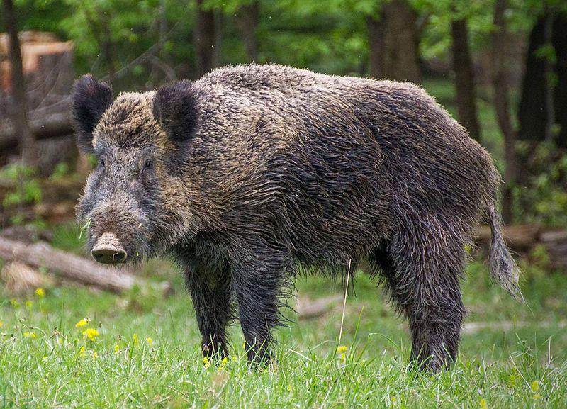 wild boar Isis Iraq